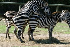 Zebra intercourse Royalty Free Stock Photography