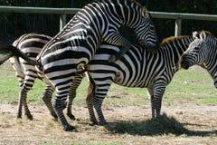 Zebra intercourse. Male and female zebra intercourse Royalty Free Stock Photography