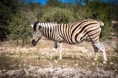 Zebra irritada, parque nacional Namíbia de Etosha foto de stock