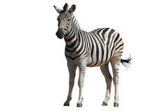 Zebra - isolada Imagem de Stock Royalty Free