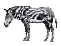 Zebra isolada de Grevy Fotografia de Stock Royalty Free