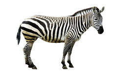 Zebra isolada no fundo branco Fotografia de Stock Royalty Free