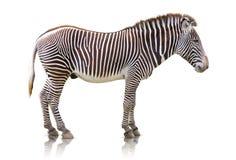 Zebra isolata Fotografia Stock Libera da Diritti