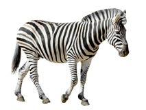 Zebra isolata di Burchell Immagini Stock Libere da Diritti