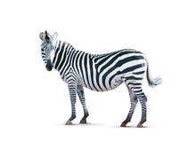 Zebra isolata su bianco Immagini Stock