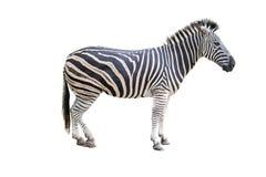 Zebra isolated on background. royalty free stock photos