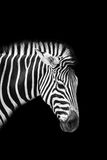 Zebra. Isolated on black background Royalty Free Stock Images