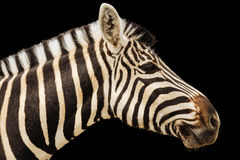 Zebra isolated head Royalty Free Stock Images
