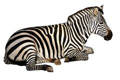 Zebra isolated on pure white. Sitting Zebra isolated on pure white stock photo