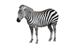 Zebra Isolated on White Royalty Free Stock Photos