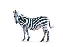 Zebra isolated on white Stock Images