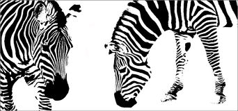 Zebra isolated on white Stock Photography