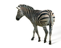 zebra isolated on white Stock Image