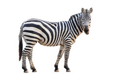 Zebra isolated. On white background