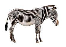 Zebra. Isolated on white background Stock Photography