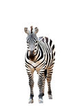 Zebra isolated Stock Image