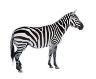The Zebra. The Zebra isolated on white background Stock Image