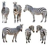 Zebra isolated. On white background Stock Photography