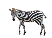 Zebra isolated Stock Images
