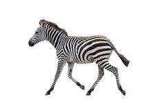 Zebra isolated Stock Photography