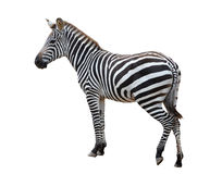 Zebra isolated Royalty Free Stock Images