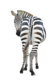 Zebra isolated Stock Photo