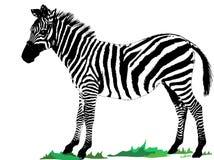 Zebra isolated white Stock Image