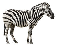 Zebra Isolated on a White Background Royalty Free Stock Photography