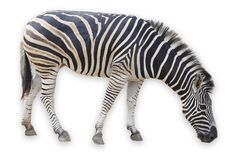 Zebra isolated on white background have clipping path