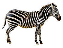 Zebra isolated on white background Stock Image