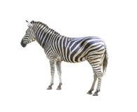 Zebra isolated Stock Photos