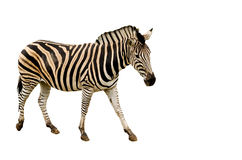 Zebra - isolated Stock Image