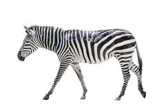 Zebra isolated on white Stock Photo