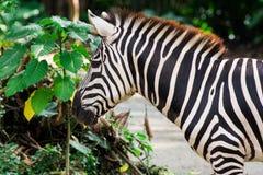 Zebra isst grüne Blätter Lizenzfreie Stockfotos