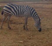 Zebra isst ist ruhig und genießt den schönen Tag stockfoto