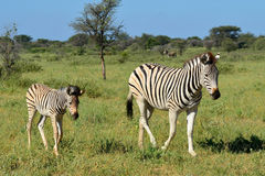 Zebra with its baby Stock Image