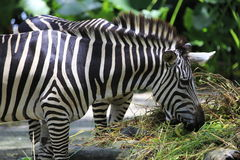 Zebra 2 Stock Photo