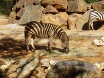 Zebra je w górę zakończenia w zoo Zdjęcie Royalty Free