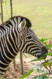 Zebra jest słynna w Afryka z swój wyróżniającymi ocechowaniami Obrazy Royalty Free