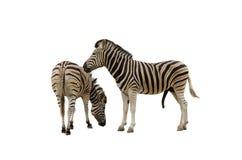 Zebra jest słynna w Afryka z swój wyróżniającymi ocechowaniami Zdjęcia Royalty Free