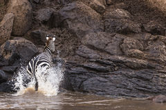 Zebra jump out of water Stock Images