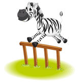 A zebra jumping Stock Images