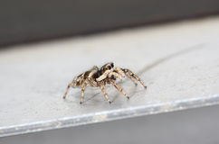Zebra jumping spider Royalty Free Stock Images