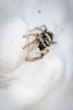 Zebra jumping spider on the hunt. Zebra jumping spider lurking on a white house wall on prey Stock Photos