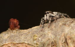 Zebra jumping spider. Royalty Free Stock Images
