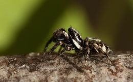 Zebra jumping spider. Stock Photos