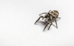 A Zebra Jumping Spider on a white background Royalty Free Stock Image