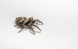 A Zebra Jumping Spider on a white background Stock Photo