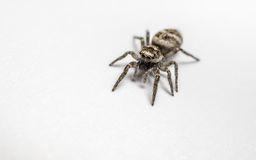 A Zebra Jumping Spider on a white background Stock Images