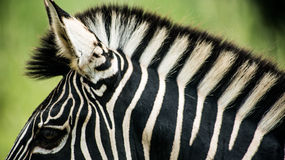 Zebra. A zebra in the jungle Royalty Free Stock Image